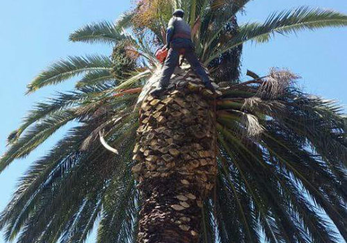 Palm Care Dead Leaf Removal